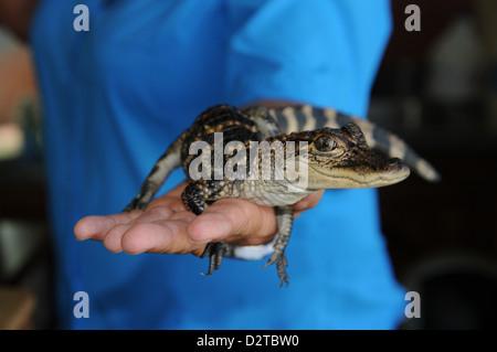 Baby alligator, Louisiana, United States of America, North America - Stock Photo