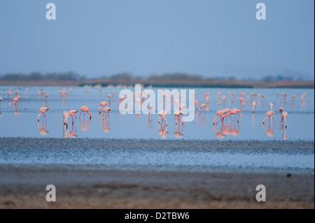 Flamingos feed on the brackish water in Little Rann of Kutch, Gujarat, India, Asia - Stock Photo