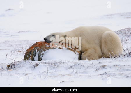 Polar bear resting, Churchill, Hudson Bay, Manitoba, Canada, North America - Stock Photo