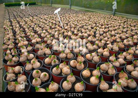 Potted Hyacinth Bulbs In Garden Nursery Late January   Stock Photo