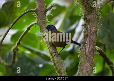 Large-footed Finch, Pezopetes capitalis, in La Amistad national park, Chiriqui province, Republic of Panama.