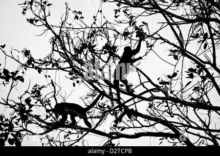 The silhouette of two Howler monkeys in Soberania national park, Republic of Panama. - Stock Photo