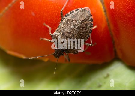 Halyomorpha halys, the brown marmorated stink bug, stink bug on a tomato  - Stock Photo