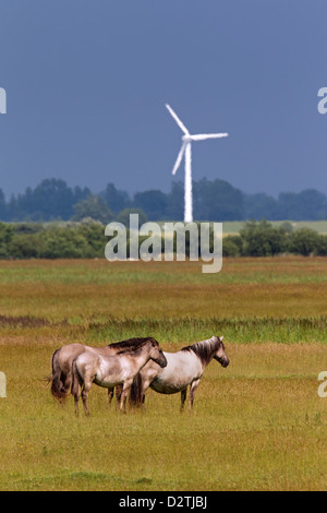 Herd of Konik horses, Polish primitive horse breed from Poland, in meadow of nature reserve - Stock Photo