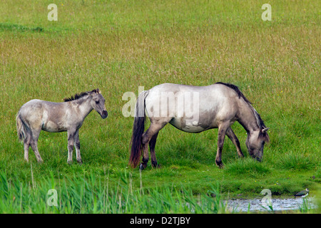 Konik horses, mare and foal in field, Polish primitive horse breed from Poland - Stock Photo