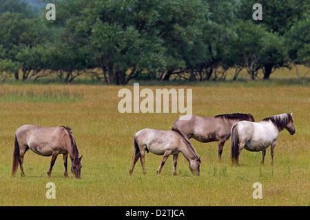 Herd of Konik horses, Polish primitive horse breed from Poland, grazing in field - Stock Photo