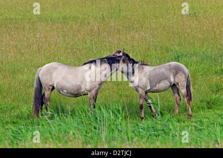 Mutual grooming / allogrooming by Konik horses in field, Polish primitive horse breed from Poland - Stock Photo