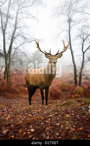 Beautiful image of red deer stag in forest landscape of foggy misty forest in Autumn Fall - Stock Photo