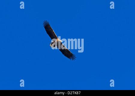White-tailed Eagle / Sea Eagle / Erne (Haliaeetus albicilla) in flight against blue sky - Stock Photo