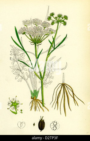 OEnanthe Lachenalii Parsley Water-Dropwort - Stock Photo