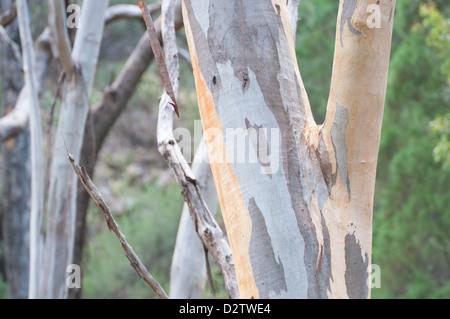Eucalypt Tree bark - Stock Photo