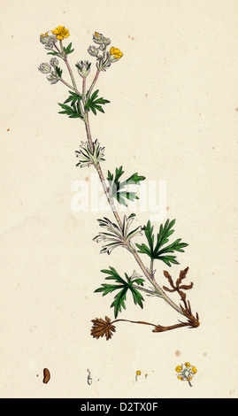 Potentilla argentea; Hoary Cinquefoil - Stock Photo