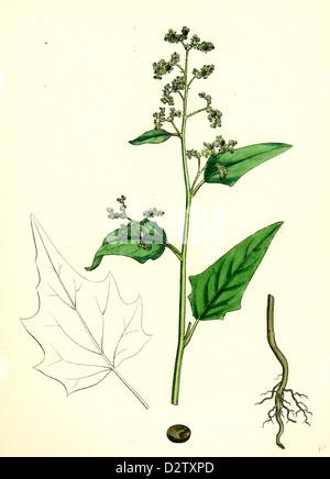 Chenopodium hybridum; Maple-leaved Goosefoot - Stock Photo
