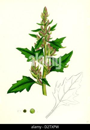 Chenopodium eu-rubrum, var. genuinum; Red Goosefoot, var. a. - Stock Photo