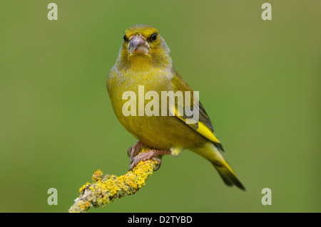 Grünfink, Maennchen (Carduelis chloris) Greenfinch, male • Ostalbkreis, Baden-Württemberg, Deutschland - Stock Photo