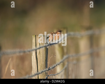 Stonechat perched on fence - Stock Photo