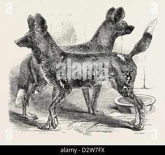 CAPE HUNTING DOGS IN THE GARDENS OF THE ZOOLOGICAL SOCIETY REGENT'S PARK LONDON 1854 - Stock Photo