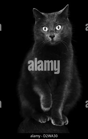 Black Grey cat kneading - Stock Photo