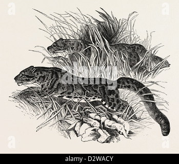 CLOUDED TIGERS IN THE ZOOLOGICAL SOCIETY'S GARDENS REGENT'S PARK LONDON UK 1854 - Stock Photo