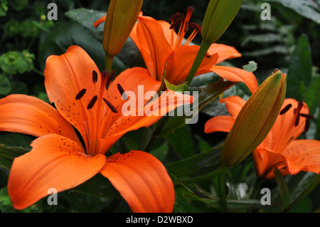 Large Bright Orange Lily Flowers and Buds - Stock Photo