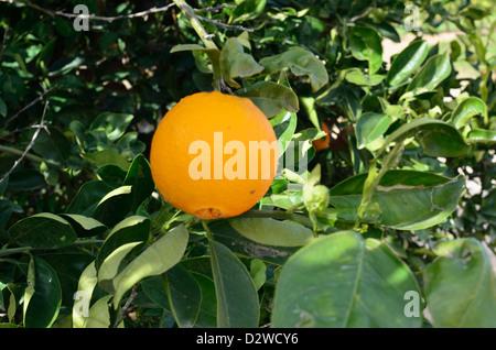 Orange on tree in suburbs of city Valencia, Spain - Stock Photo