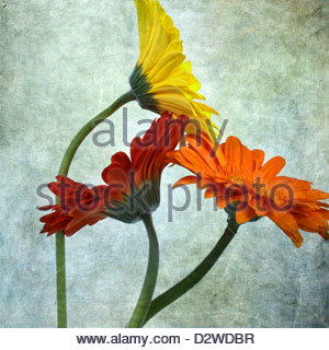Three Gerbera daisy flowers with texture - Stock Photo