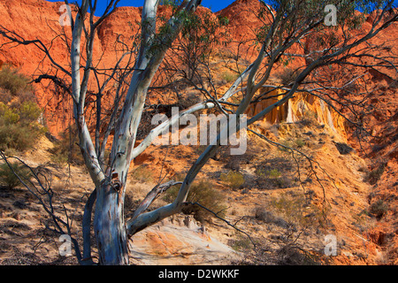 Gum tree on the banks of the Murray River near Heading Cliff in the South Australia Riverland - Stock Photo