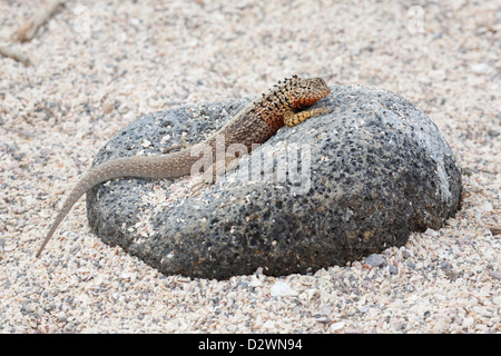 Galapagos Lava Lizard (Microlophus albemarlensis) on lava rock in coral beach - Stock Photo