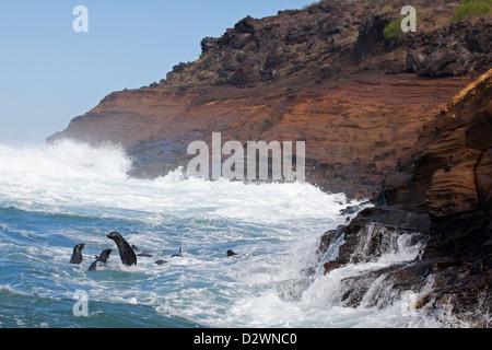 Galapagos Sea Lions (Zalophus wollebaeki) surfing along the coast of Isabela island - Stock Photo