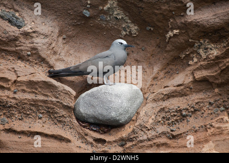 Brown Noddy tern (Anous stolidus) perched on lava rock in tuff cliff on Volcán Ecuador - Stock Photo