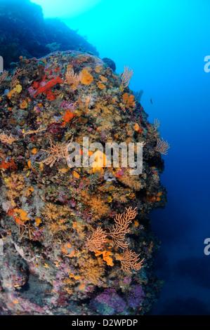 underwater view of yellow sea fans, Yellow Gorgonian, Eunicella cavolinii, Medditerranean Sea, France - Stock Photo