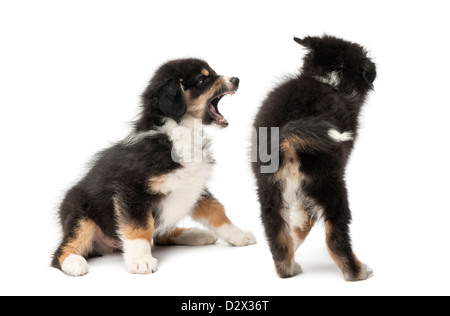 Two Australian Shepherd puppies, 2 months old, play fighting against white background - Stock Photo