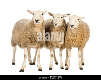 Three Sheep standing in front of white background - Stock Photo