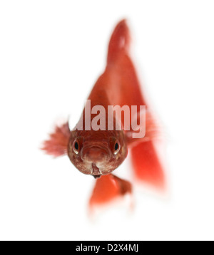 Front view of a Siamese fighting fish, Betta splendens, against white background - Stock Photo