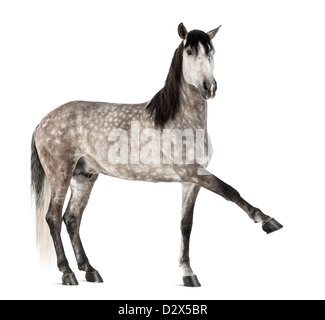 Andalusian raising leg, 7 years old, also known as the Pure Spanish Horse or PRE, portrait against white background - Stock Photo