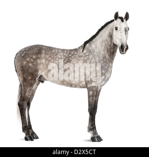 Andalusian, 7 years old, also known as the Pure Spanish Horse or PRE, portrait against white background - Stock Photo