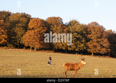 A couple, in the background, enjoys a sunshine afternoon Richmond park in London, while a red deer stands out in - Stock Photo