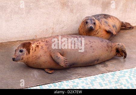 National Seal Sanctuary, Gweek, Cornwall. - Stock Photo