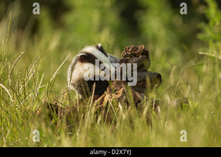 European Badger sniffing at a tree stump in the spring evening light - Stock Photo