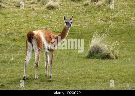 Young guanaco (chulengo) in Torres del Paine National Park, Patagonia, Chile - Stock Photo