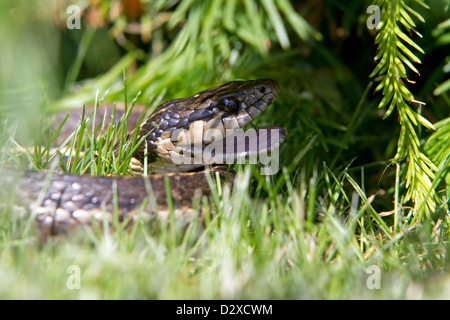 The Common Garter Snake (Thamnophis sirtalis) is a non-venomous ...
