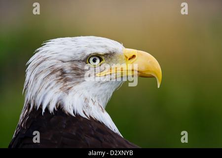 Bald Eagle Haliaeetus leucocephalus  headshot portrait close up in profile taken under controlled conditions - Stock Photo