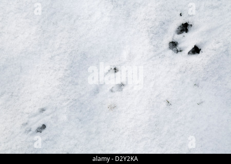Animal Tracks in the Snow; Possibly Rat; UK - Stock Photo