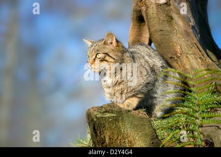 Wild Cat; Felis Silvestris; UK - Stock Photo