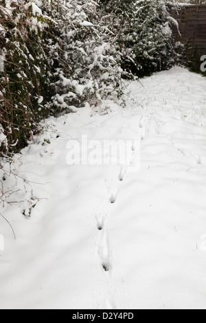 fox animal tracks in fresh snow in garden - Stock Photo
