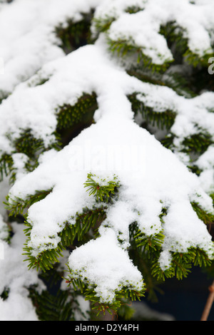 branch of christmas tree covered by fresh snow - Stock Photo