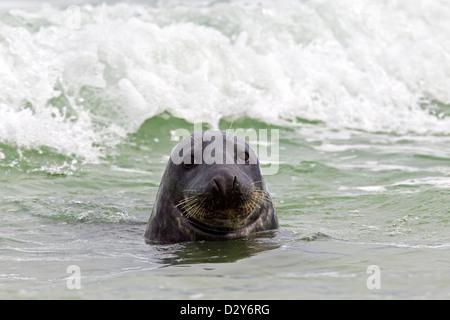Grey seal / gray seal (Halichoerus grypus) male swimming in surf along the North sea coast - Stock Photo