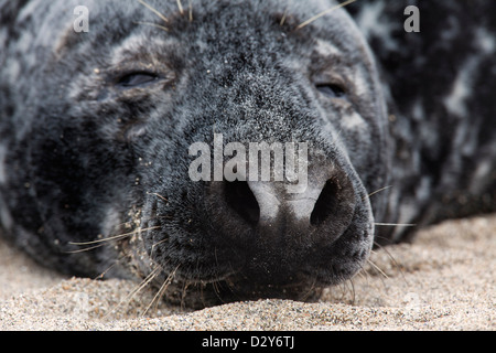 Grey seal / gray seal (Halichoerus grypus) resting on beach, close up of nose, nostrils and whiskers - Stock Photo