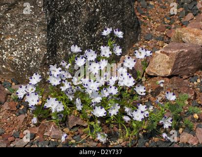 Baby Blue Eyes, Fivespot or Five-spot, Nemophila maculata, Hydrophylloideae, Boraginaceae. Endemic to California, - Stock Photo