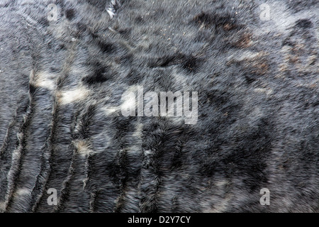 Grey seal / gray seal (Halichoerus grypus), close up of fur - Stock Photo
